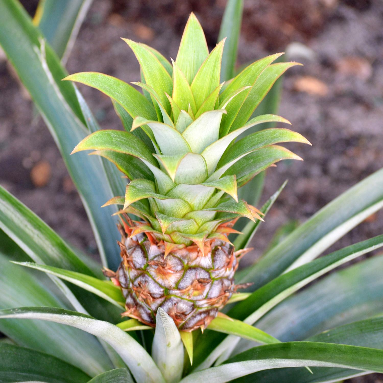 Bromelain / pineapple