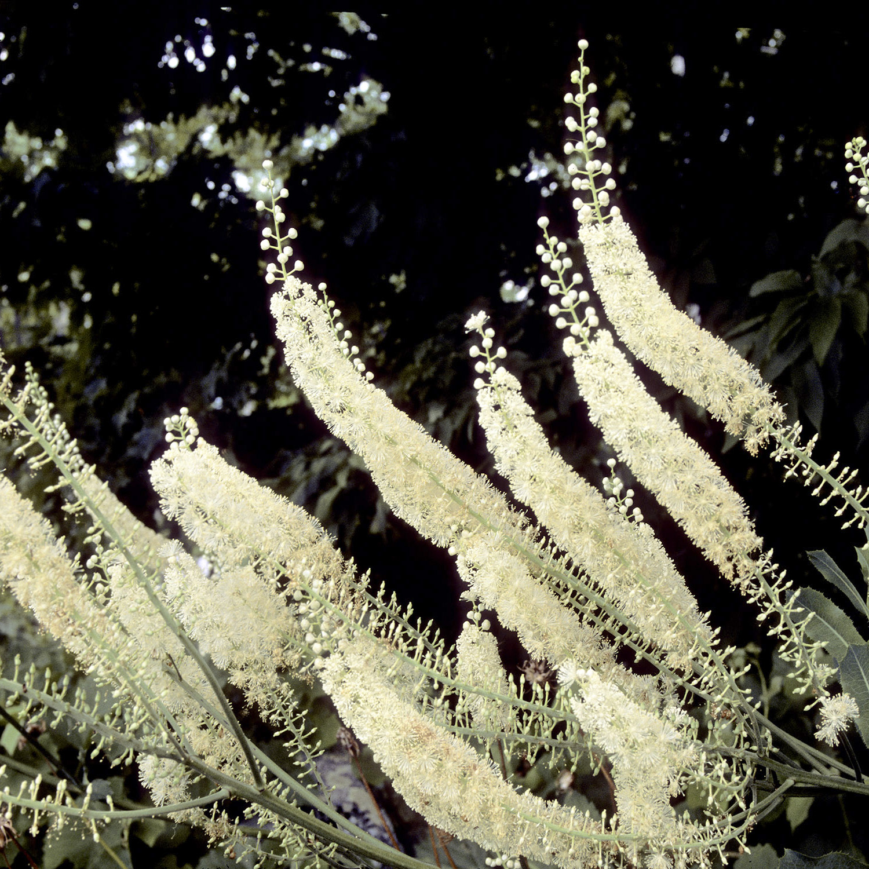 Black Cohosh flowers