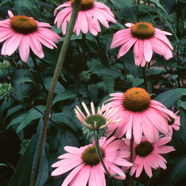 Echinacea Nccih