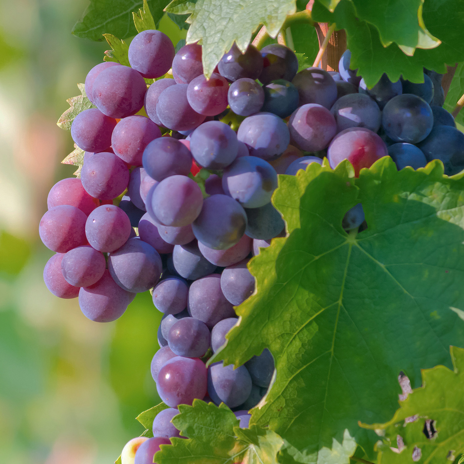 Grapes - Grape seed extract
