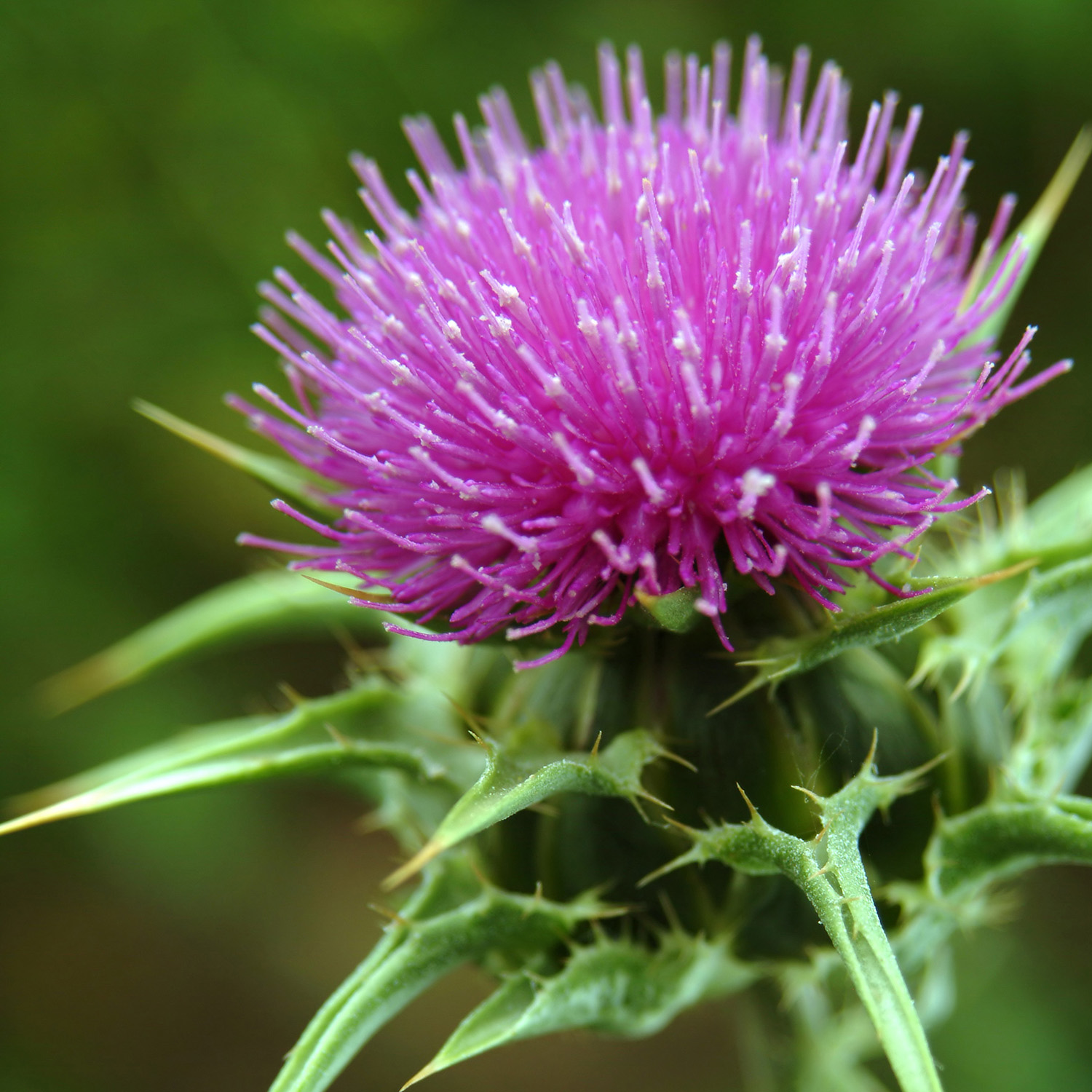 Milk Thistle | NCCIH