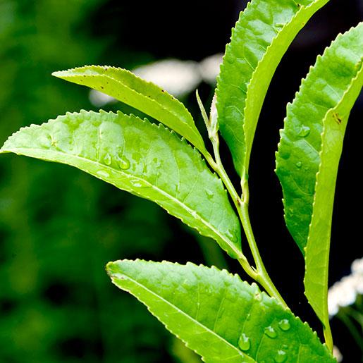 Green Tea Nccih