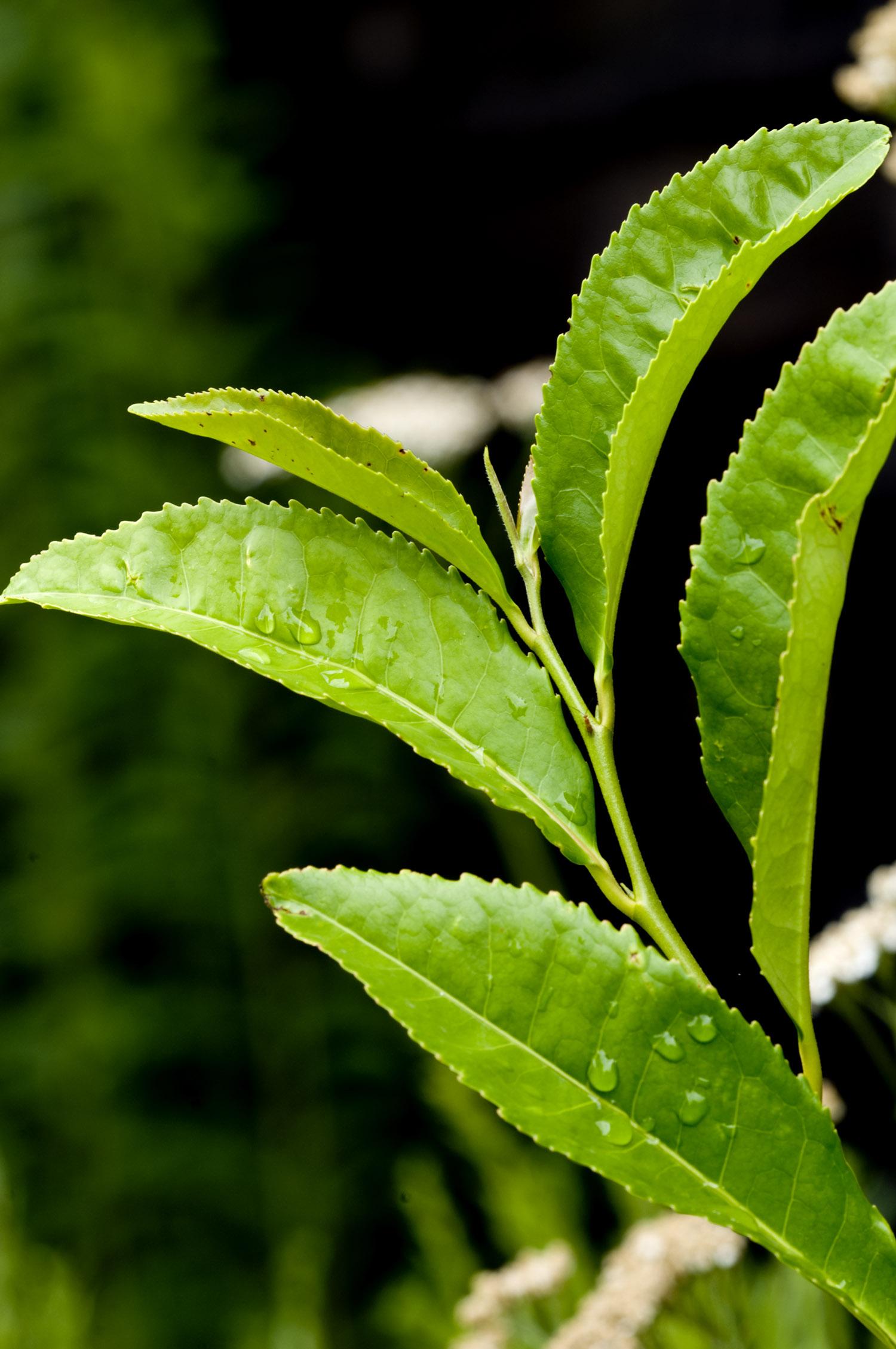 Green Tea | NCCIH