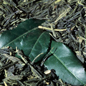 Camellia sinensis plant used to make green tea.