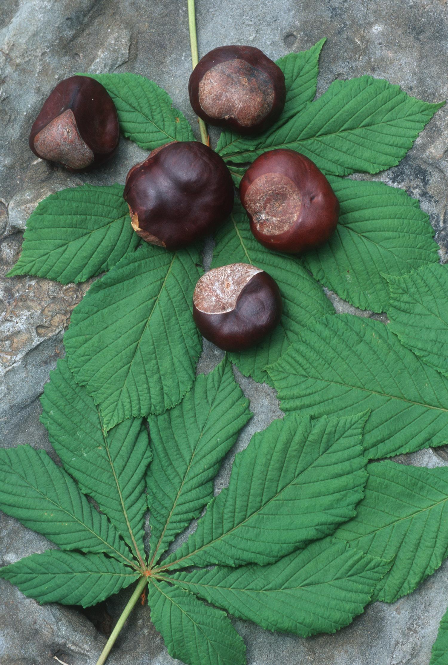 Horsechestnut for The chestnut