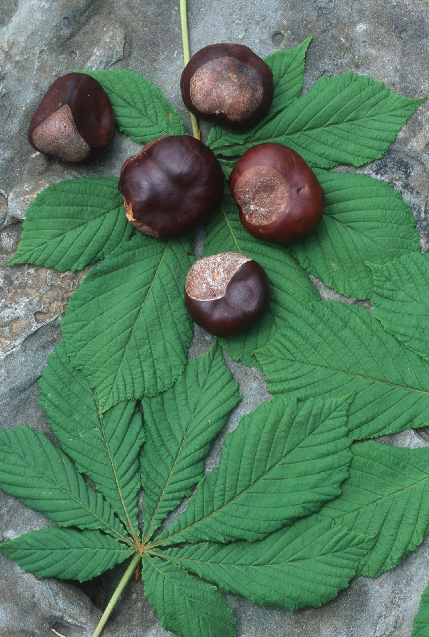 Horse chestnut is a plant used in medicine
