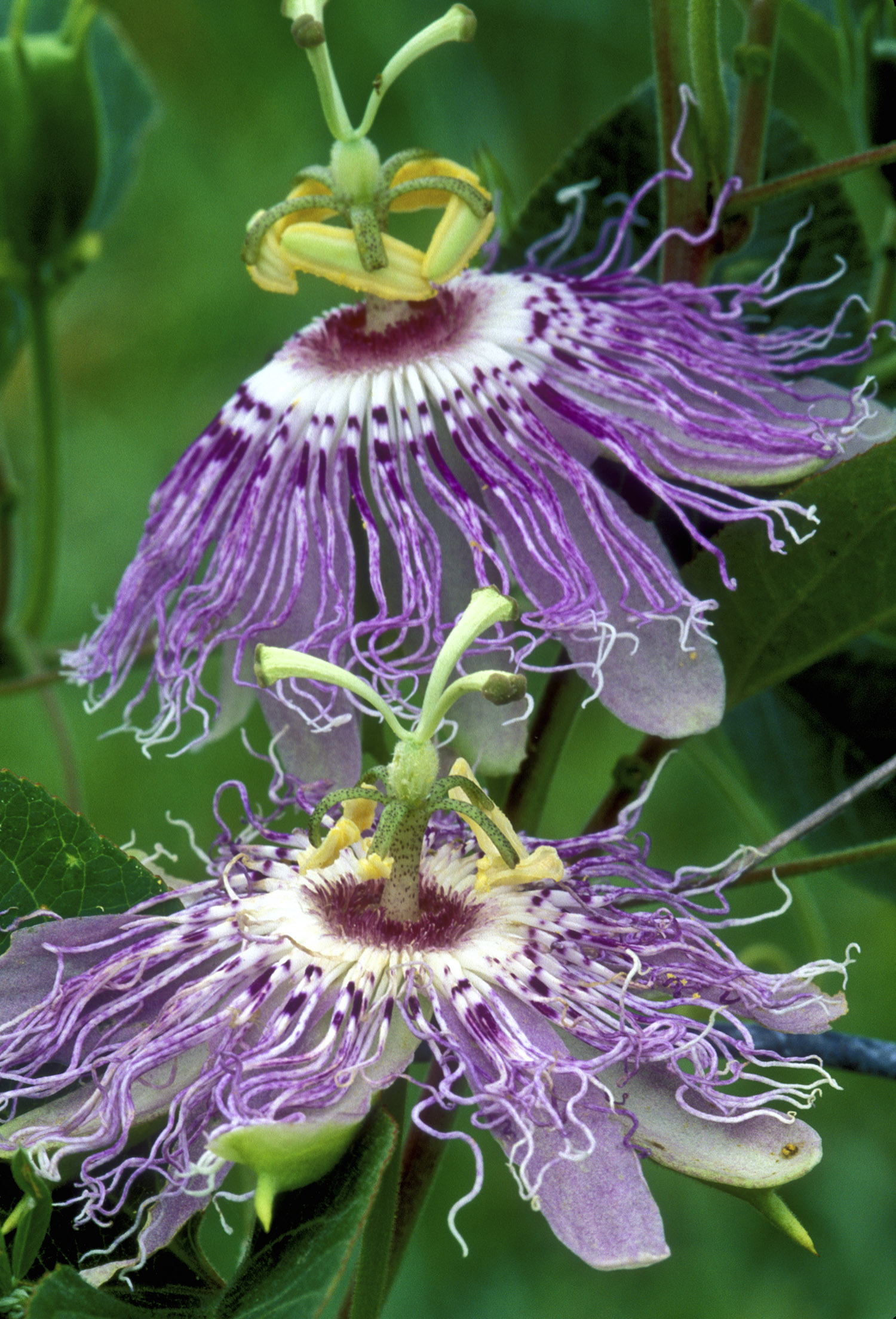 Passionflower Nccih