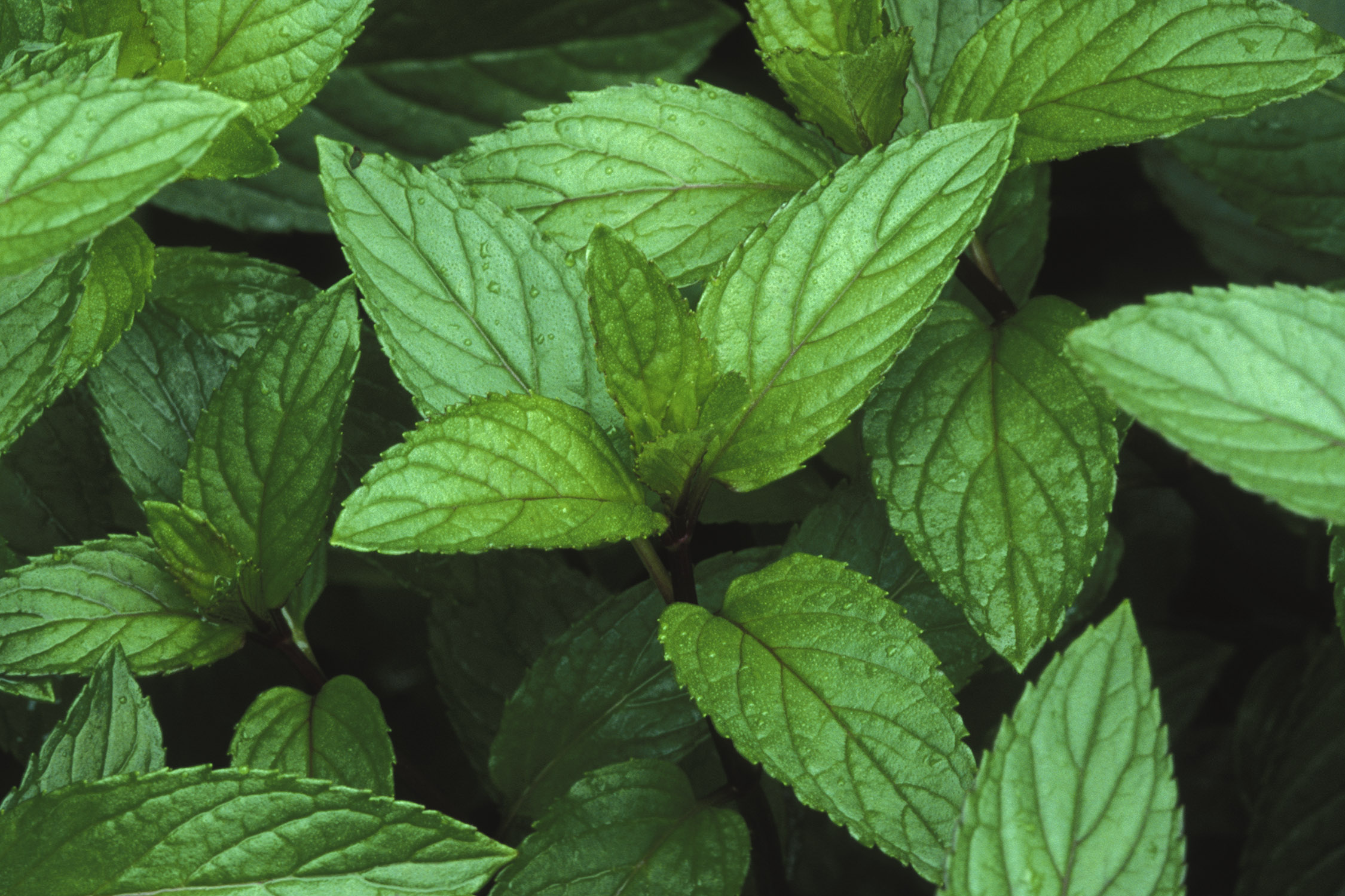 the different purposes of the spice peppermint See our apple spice latkes and dessert matzah pizzas for examples of how the herb can be a beautiful pop of color and flavor  peppermint's flavor is similar to .