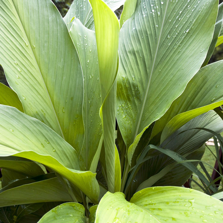Tumeric plant