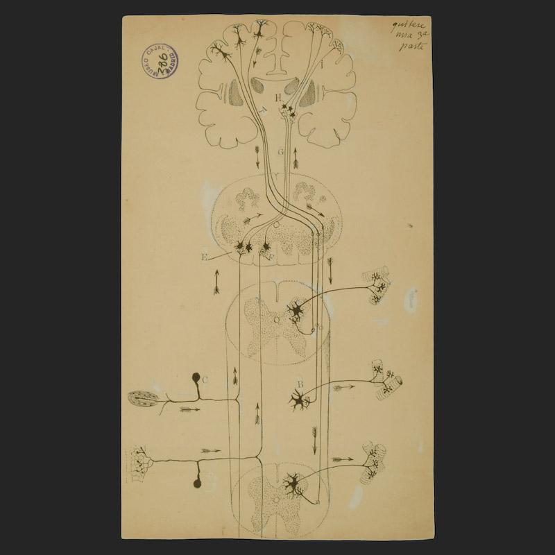 Cajal Legacy. Instituto Cajal (CSIC), Madrid