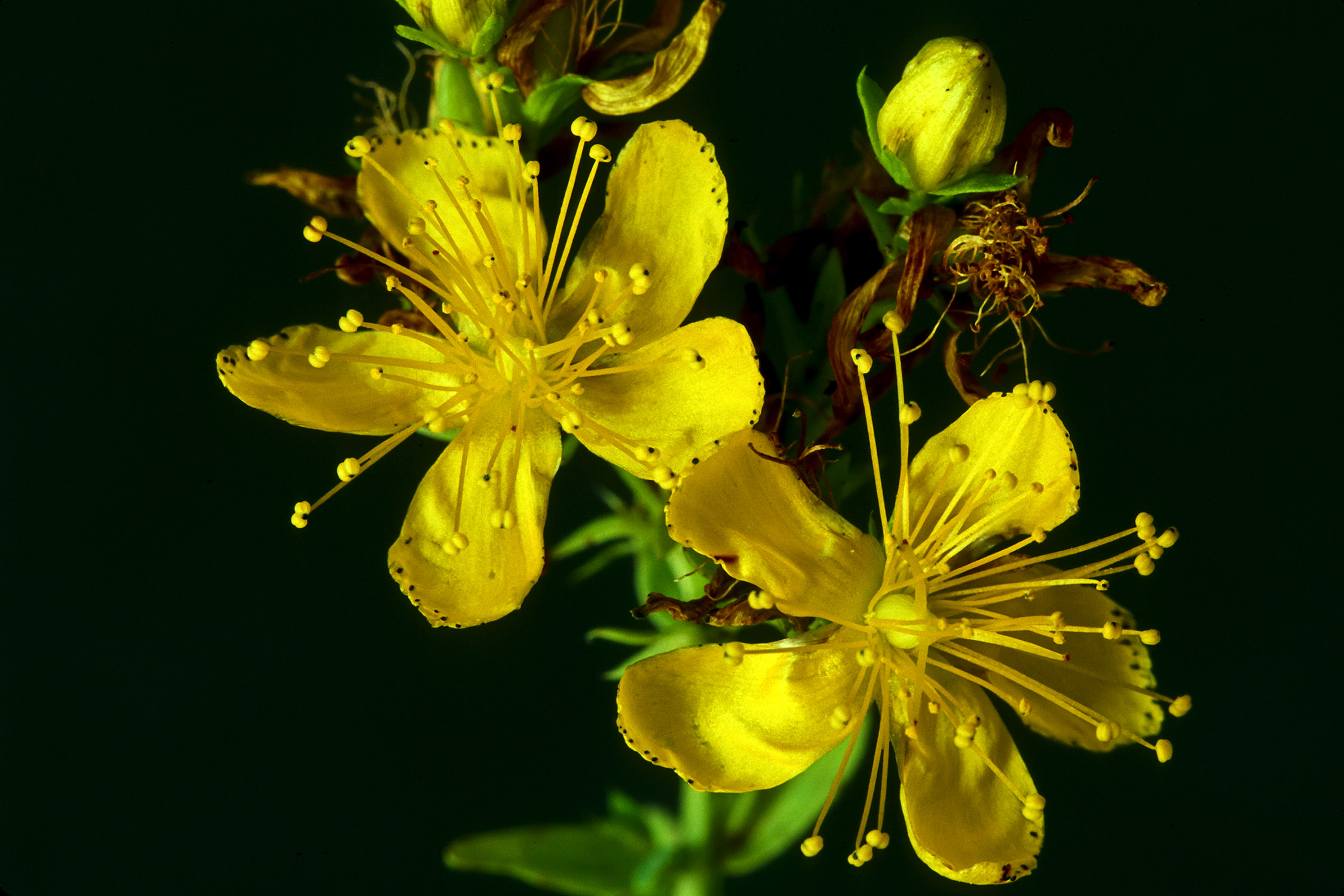 St. Johns Wort Stock Photos and Pictures Getty Images St john's wort photo