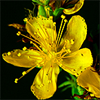 Photo of the St. John's wort plant.