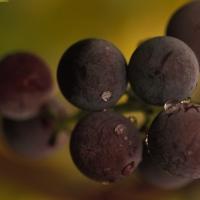 Grapes © Steven Foster