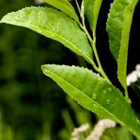 Green Tea © Steven Foster