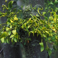 European Mistletoe © Steven Foster