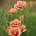 Poppy flowers © Nakano Masahiro/amanaimagesRF