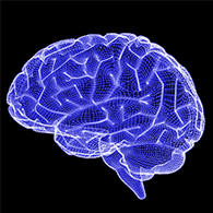 An 3D image model of the brain.