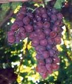 Copyright USDA Grapes