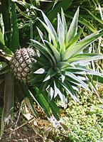 A Hawaiian pineapple.