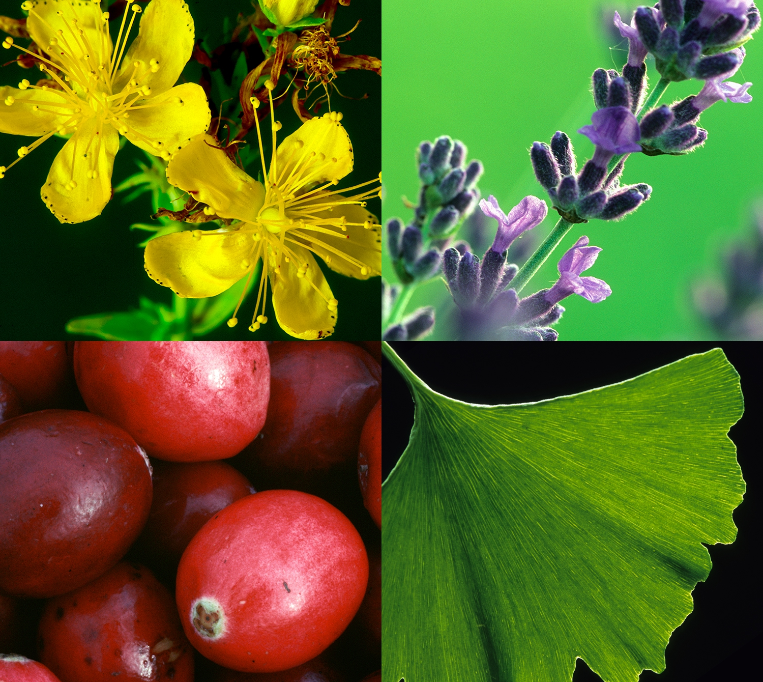 Photos of chamomile, lavender, cranberries, and ginkgo