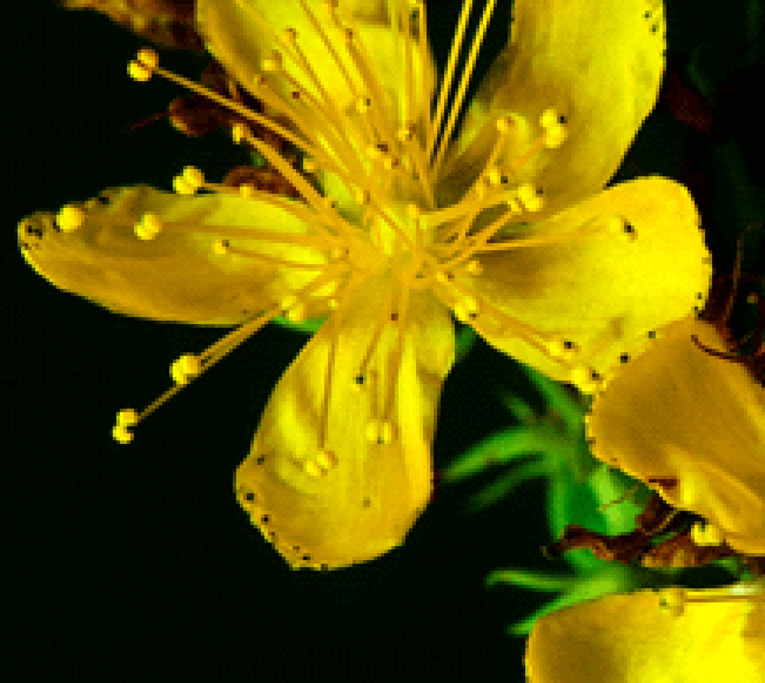 st john s wort Learn the uses, health benefits, and possible side effects of st john's wort, an herb with a long history of use for conditions like depression.