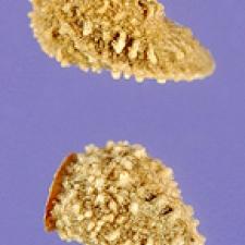 Echium plantagineum L. - salvation jane