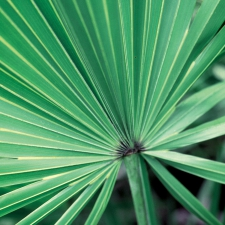 Saw Palmetto © Steven Foster