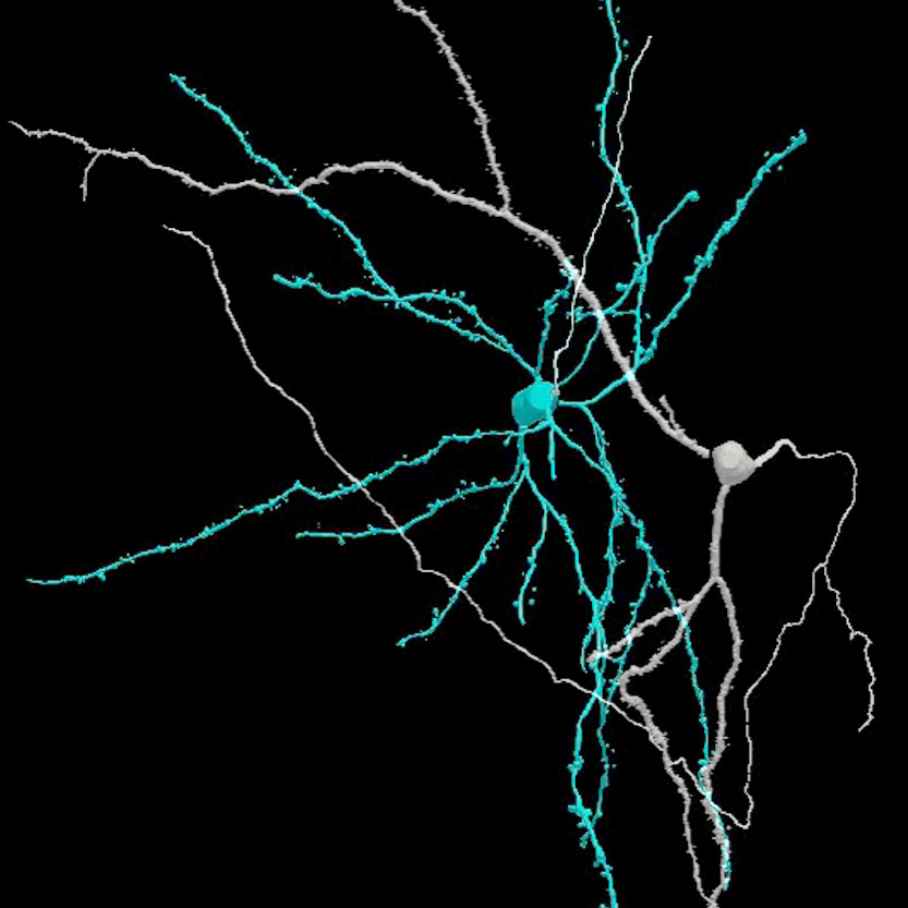 3D reconstruction of nerve cells in the brain's central amygdala